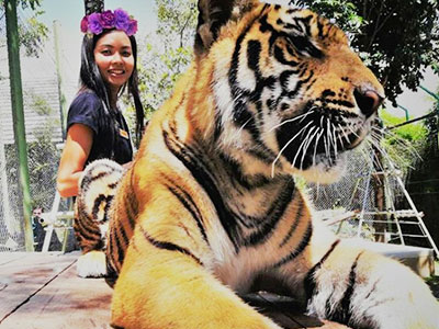 Tiger Kingdom breeds Indonesian Tigers - Phuket Thailand